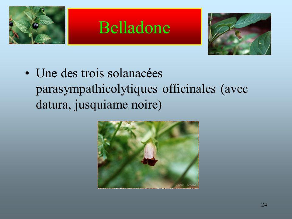 24 Belladone Une des trois solanacées parasympathicolytiques officinales (avec datura, jusquiame noire)