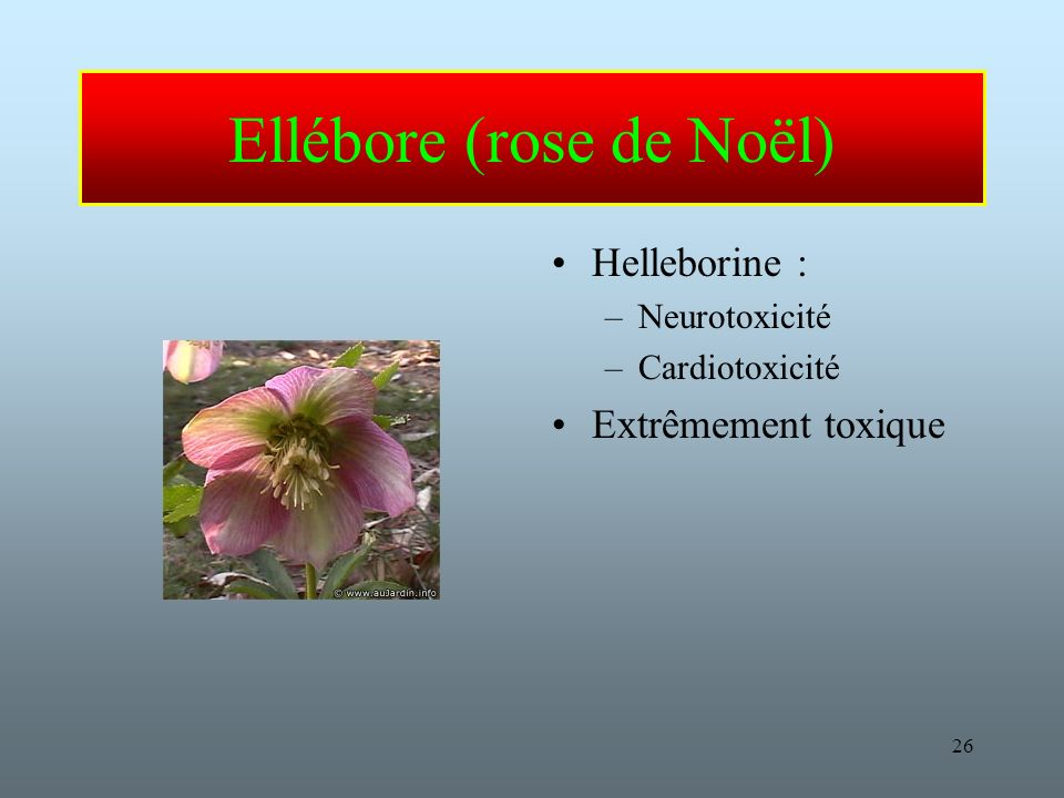 26 Ellébore (rose de Noël) Helleborine : –Neurotoxicité –Cardiotoxicité Extrêmement toxique