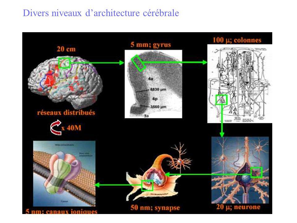 Etudes neuro-histologiques Hippocampe : cellules pyramidales en désordre Cortex préfrontal et occipital : neurones compactés dans les couches profondes problèmes de connectivité neuronale