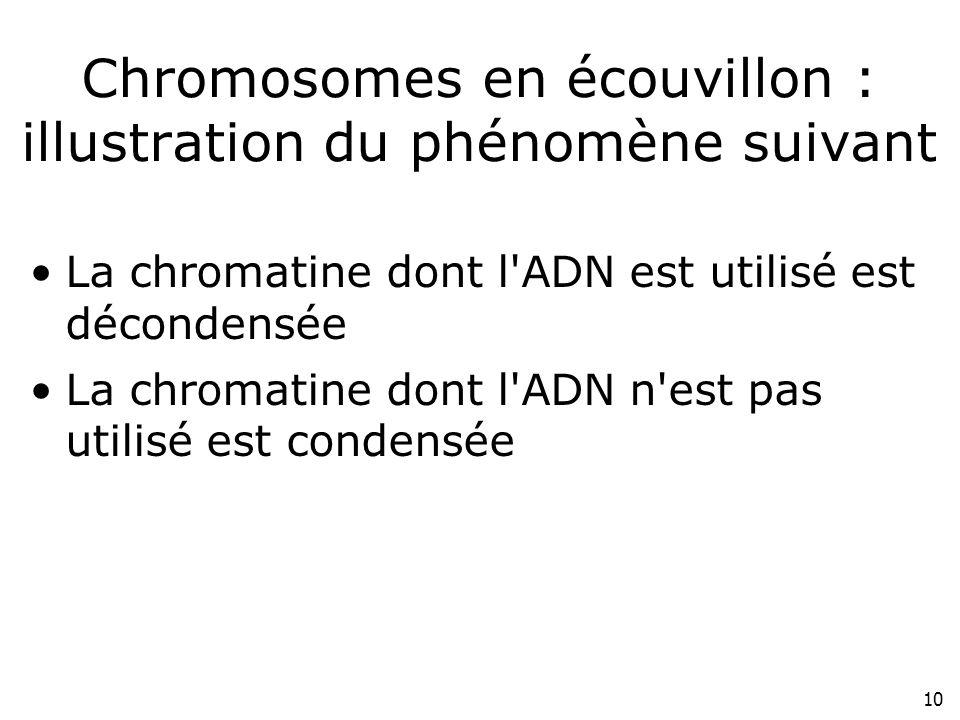 10 Chromosomes en écouvillon : illustration du phénomène suivant La chromatine dont l'ADN est utilisé est décondensée La chromatine dont l'ADN n'est p