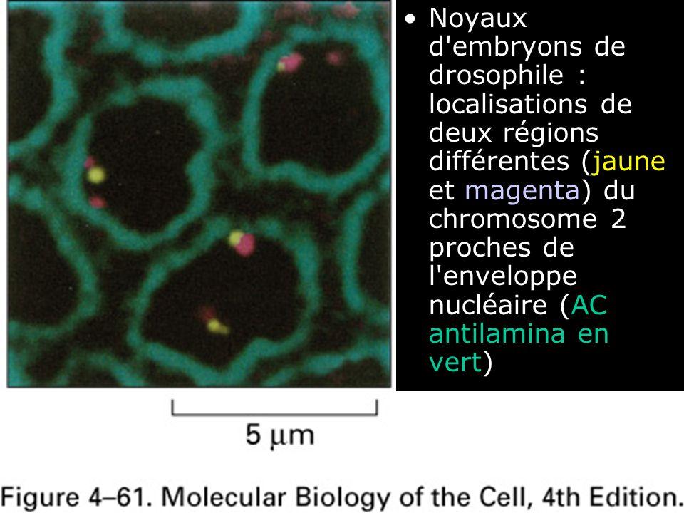 116 Fig 4-61 Noyaux d'embryons de drosophile : localisations de deux régions différentes (jaune et magenta) du chromosome 2 proches de l'enveloppe nuc