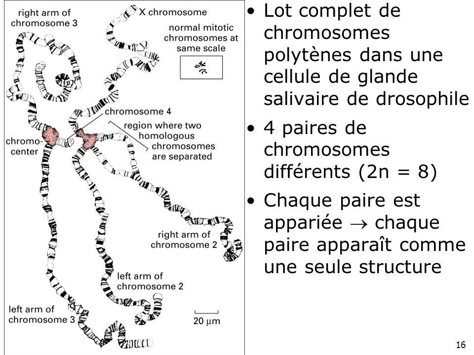 16 Fig 4-38 Lot complet de chromosomes polytènes dans une cellule de glande salivaire de drosophile 4 paires de chromosomes différents (2n = 8) Chaque