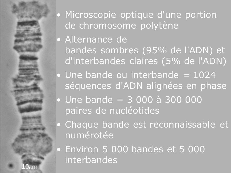 17 Fig 4- 39 10m Microscopie optique d'une portion de chromosome polytène Alternance de bandes sombres (95% de l'ADN) et d'interbandes claires (5% de