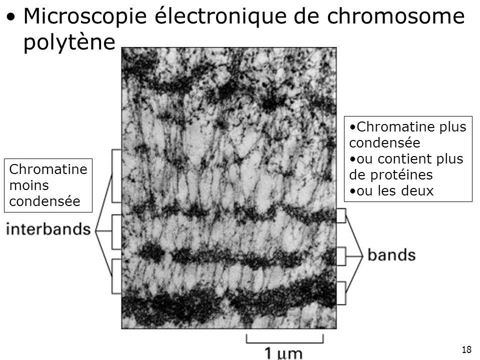 18 Fig 4-40 Microscopie électronique de chromosome polytène Chromatine plus condensée ou contient plus de protéines ou les deux Chromatine moins conde
