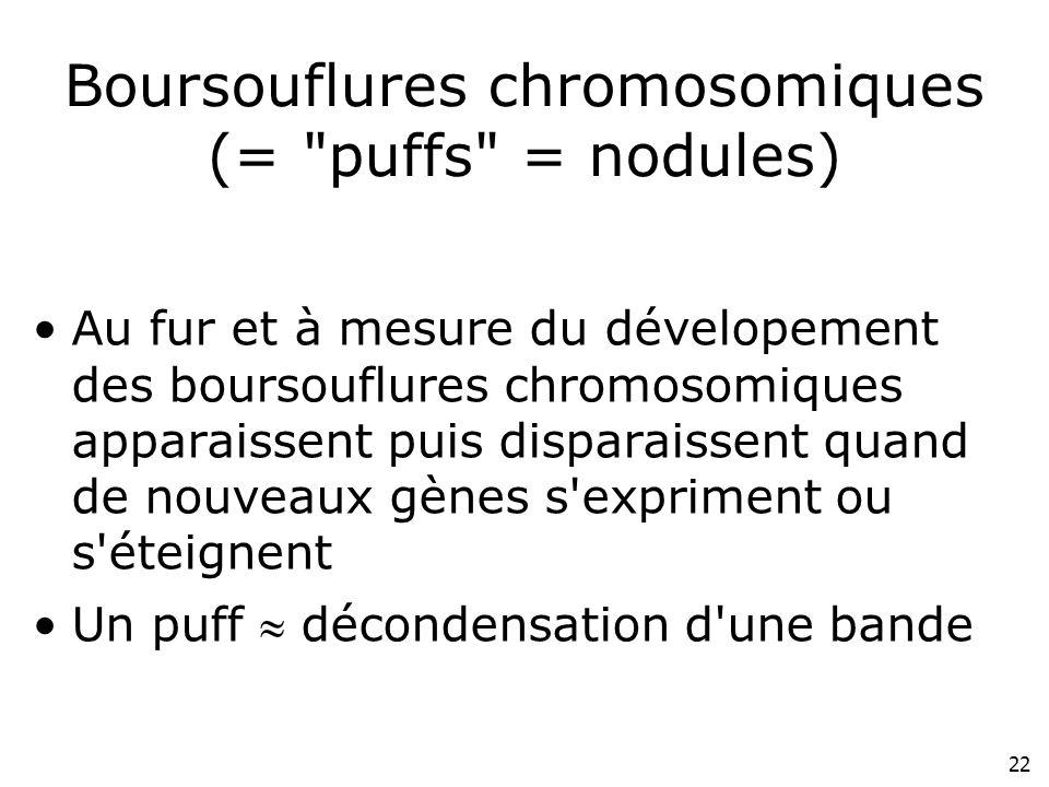 22 Boursouflures chromosomiques (=