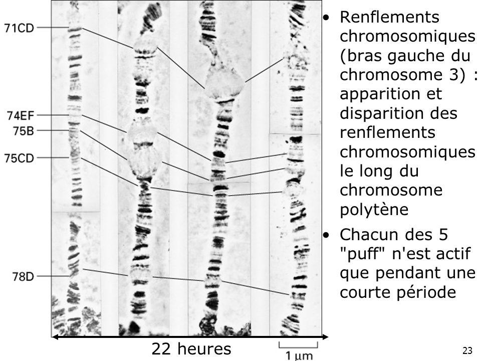 23 Fig 4-41 Renflements chromosomiques (bras gauche du chromosome 3) : apparition et disparition des renflements chromosomiques le long du chromosome