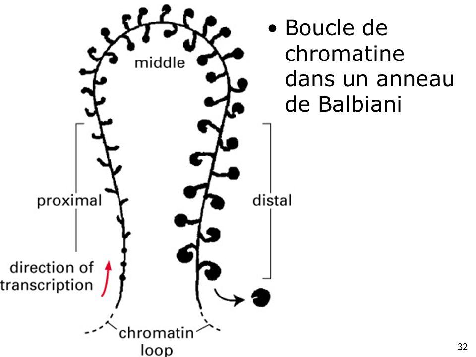 32 Fig 4-42(droite) Boucle de chromatine dans un anneau de Balbiani