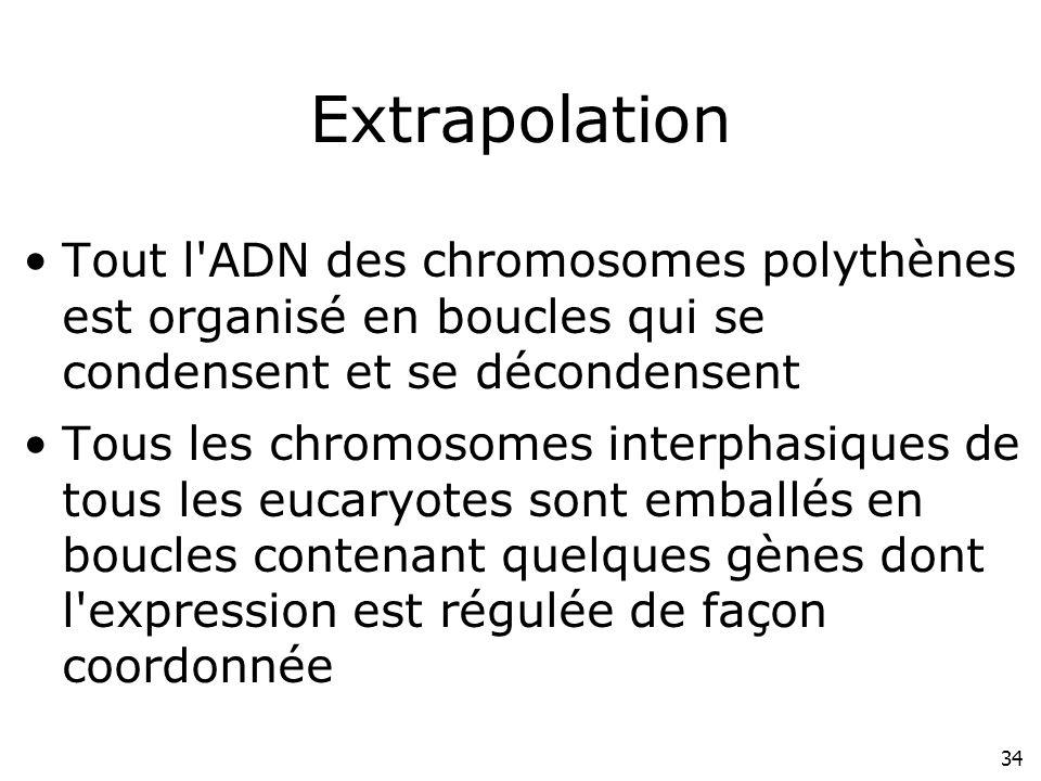 34 Extrapolation Tout l'ADN des chromosomes polythènes est organisé en boucles qui se condensent et se décondensent Tous les chromosomes interphasique