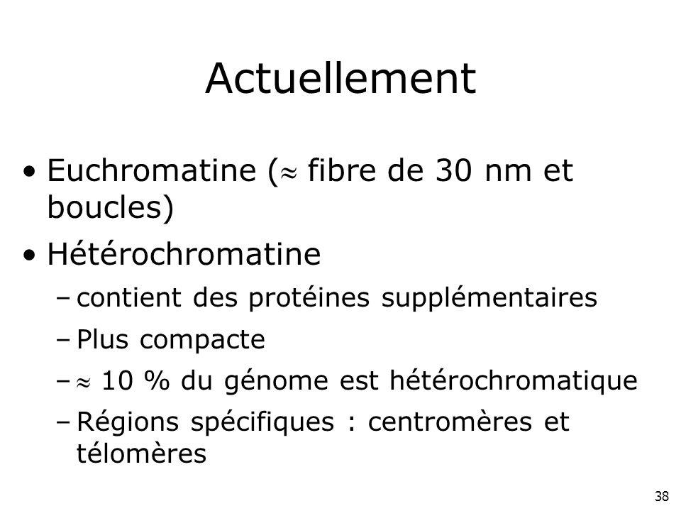 38 Actuellement Euchromatine ( fibre de 30 nm et boucles) Hétérochromatine –contient des protéines supplémentaires –Plus compacte – 10 % du génome est