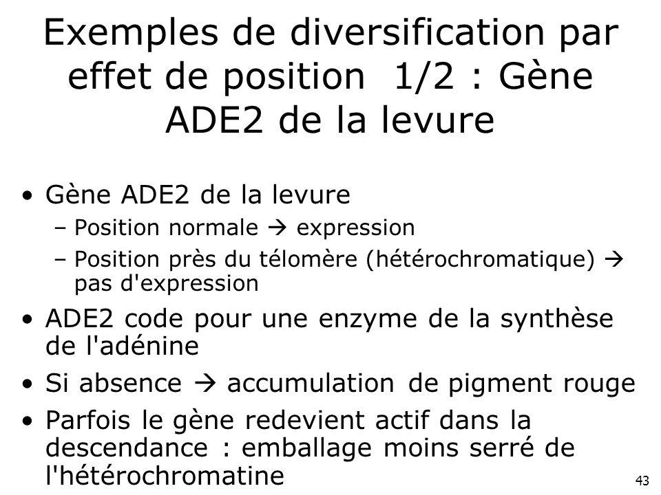 43 Exemples de diversification par effet de position 1/2 : Gène ADE2 de la levure Gène ADE2 de la levure –Position normale expression –Position près d