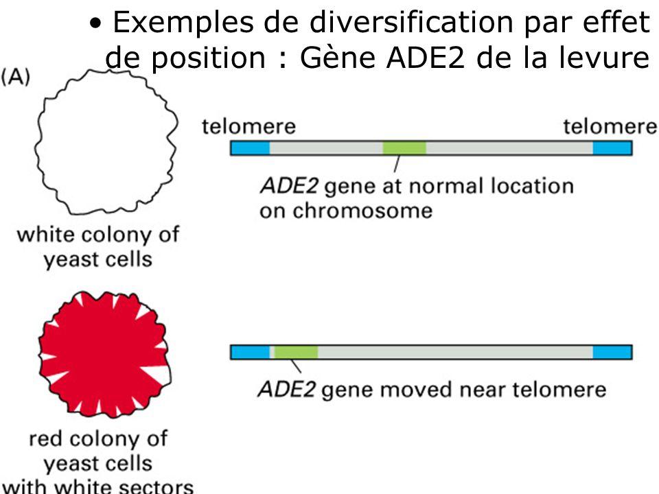 44 Fig 4-45 (A) Exemples de diversification par effet de position : Gène ADE2 de la levure