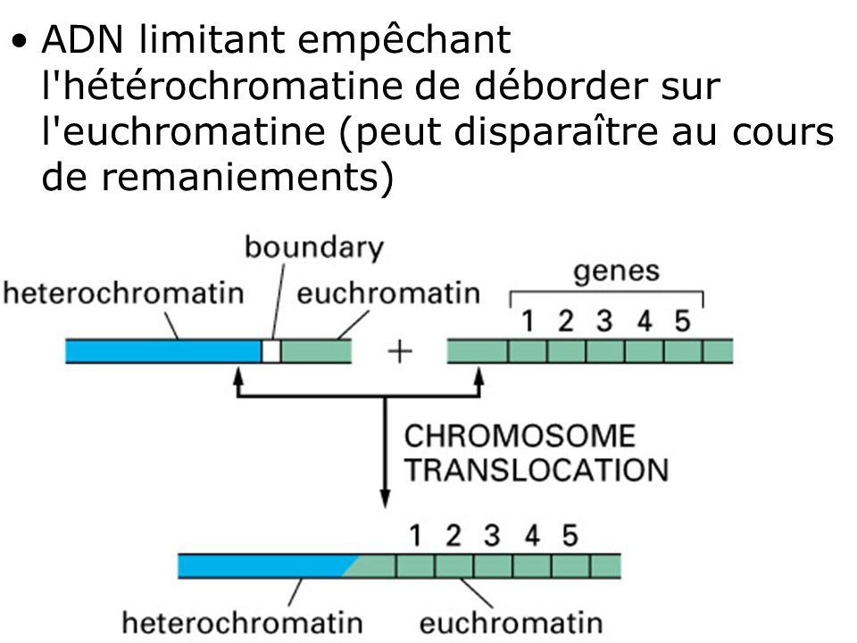 49 Fig 4-46(A) ADN limitant empêchant l'hétérochromatine de déborder sur l'euchromatine (peut disparaître au cours de remaniements)