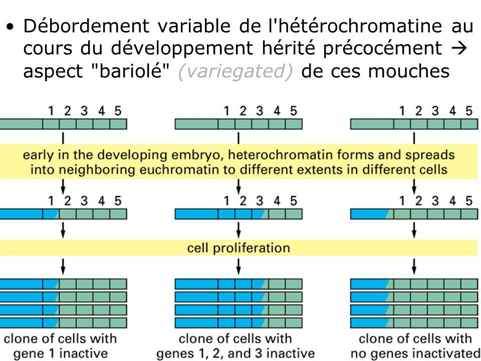 50 Fig 4-46(B) Débordement variable de l'hétérochromatine au cours du développement hérité précocément aspect