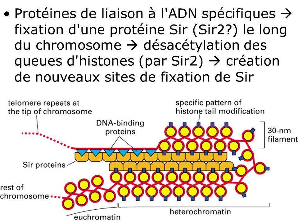 57 Fig 4-47(B) Protéines de liaison à l'ADN spécifiques fixation d'une protéine Sir (Sir2?) le long du chromosome désacétylation des queues d'histones
