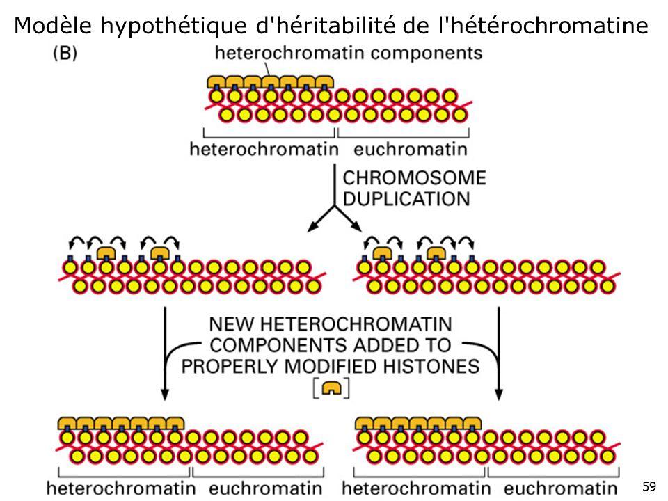 59 Fig 4-48(B) Modèle hypothétique d'héritabilité de l'hétérochromatine