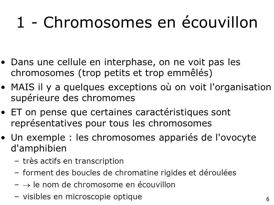 6 1 - Chromosomes en écouvillon Dans une cellule en interphase, on ne voit pas les chromosomes (trop petits et trop emmêlés) MAIS il y a quelques exce