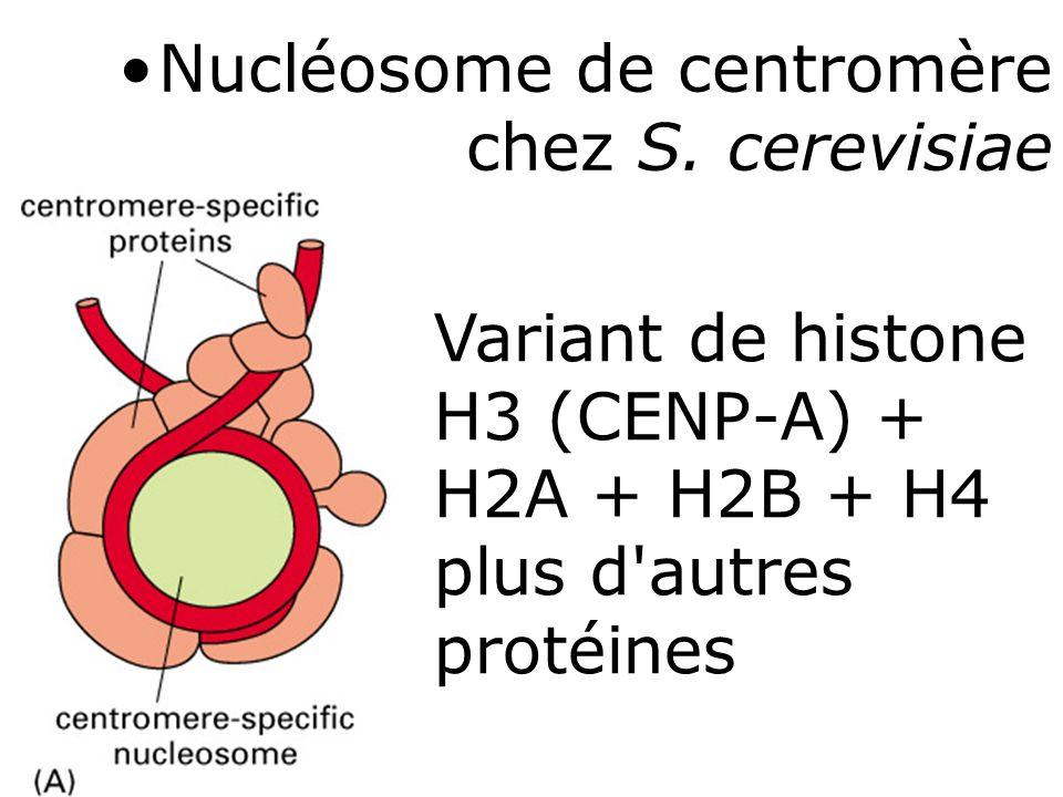 66 Fig 4-49 Variant de histone H3 (CENP-A) + H2A + H2B + H4 plus d'autres protéines Nucléosome de centromère chez S. cerevisiae
