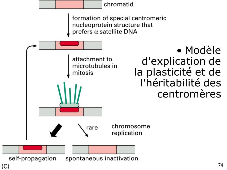 74 Fig 4-51(C) Modèle d'explication de la plasticité et de l'héritabilité des centromères