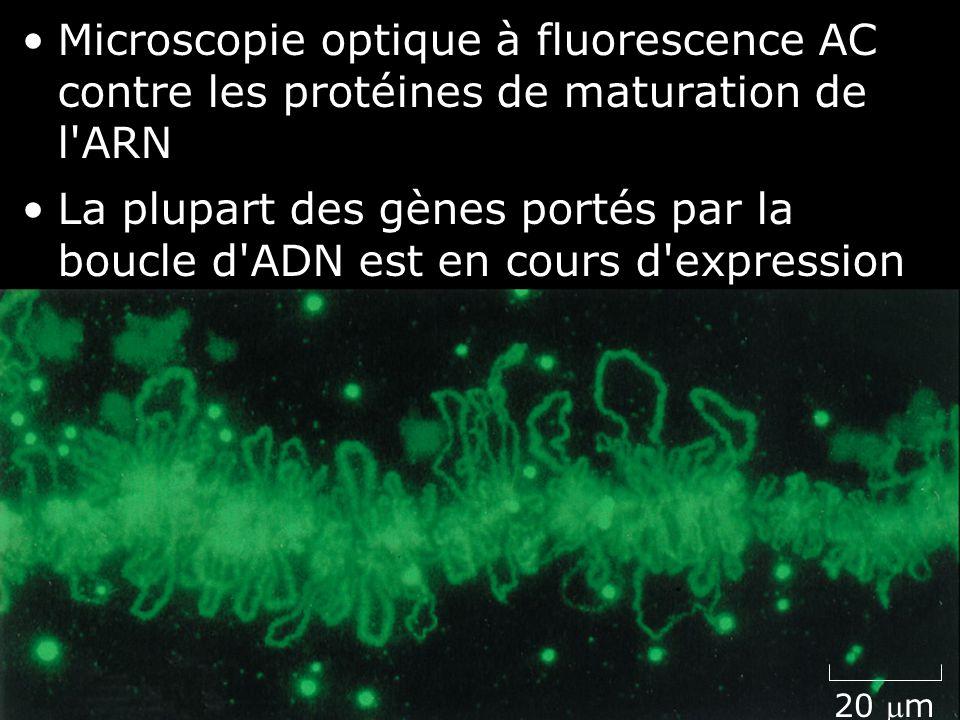 8 Fig 4-36(B) 20 m Microscopie optique à fluorescence AC contre les protéines de maturation de l'ARN La plupart des gènes portés par la boucle d'ADN e