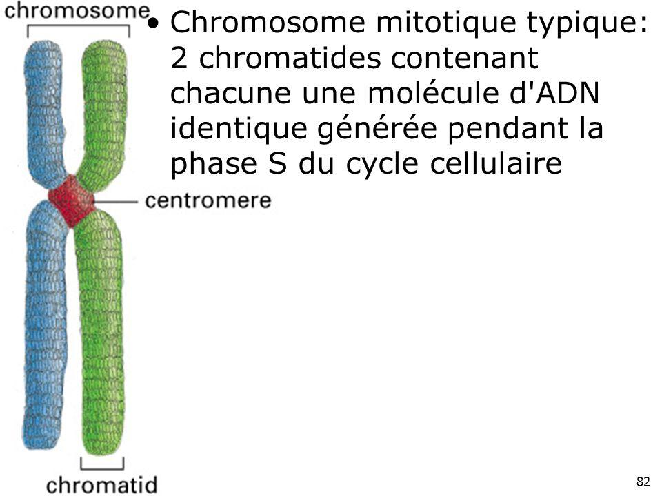 82 Fig 4-52 Chromosome mitotique typique: 2 chromatides contenant chacune une molécule d'ADN identique générée pendant la phase S du cycle cellulaire