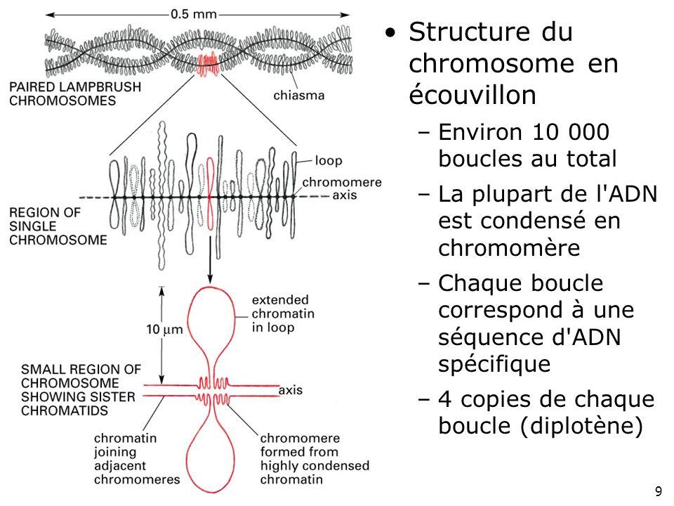 9 Fig 4-37 Structure du chromosome en écouvillon –Environ 10 000 boucles au total –La plupart de l'ADN est condensé en chromomère –Chaque boucle corre