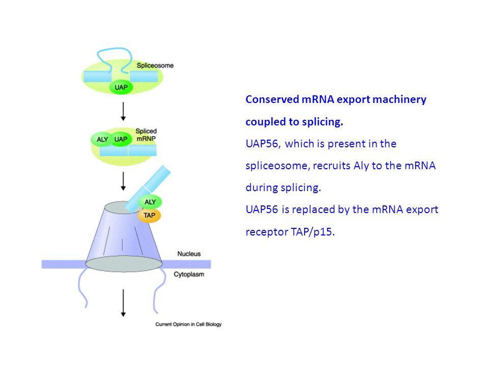Conserved mRNA export machinery coupled to splicing.