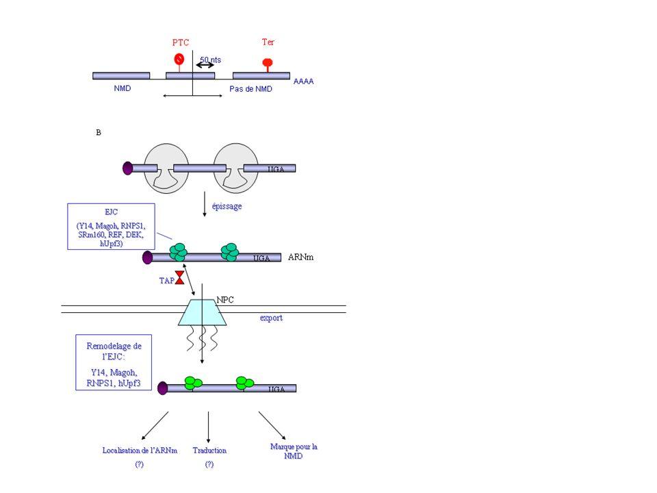 A model for mammalian NMD.