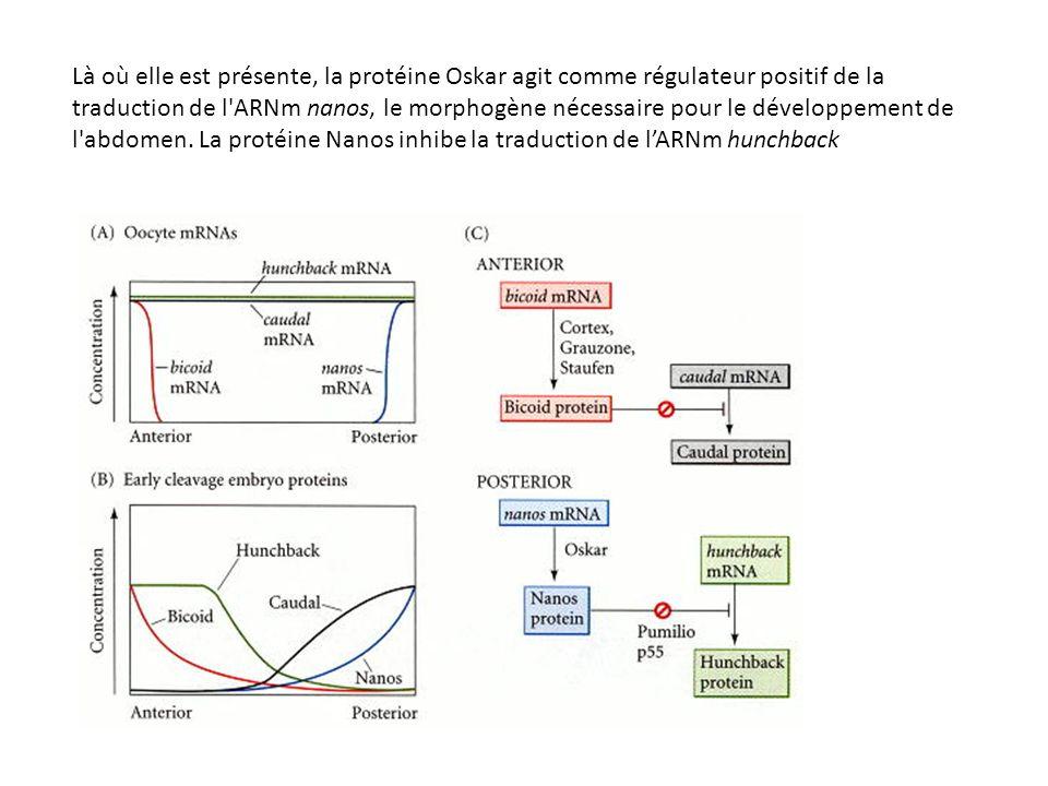 Control of hunchback mRNA translation by Nanos.