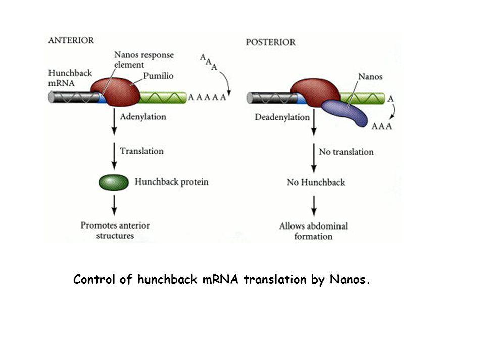 miRNA : ARN double brin (2*22nt) codé par le génome de la cellule (sous forme dun précurseur qui est maturé) Environ 1000 chez lhumain Sapparie imparfaitement à un ARN cible et inhibe sa traduction (animal), ou sapparie parfaitement et provoque sa dégradation (plante) (Il y a des exceptions…) En général, un miRNA sapparie aux 3UTR dun ou plusieurs ARNm Un 3UTR peut être liée par plusieurs miRNAs siRNA : ARN double brin (22nt) apporté par lexpérimentateur dans une cellule animale Sapparie parfaitement à un ARNm cible et provoque sa dégradation
