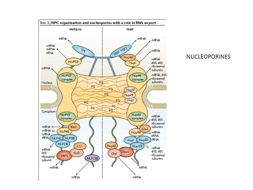 NUCLEOPORINES