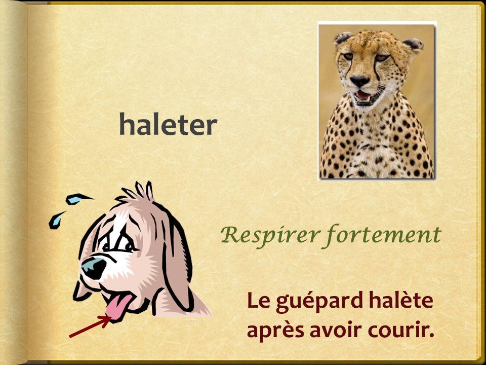 haleter Le guépard halète après avoir courir. Respirer fortement
