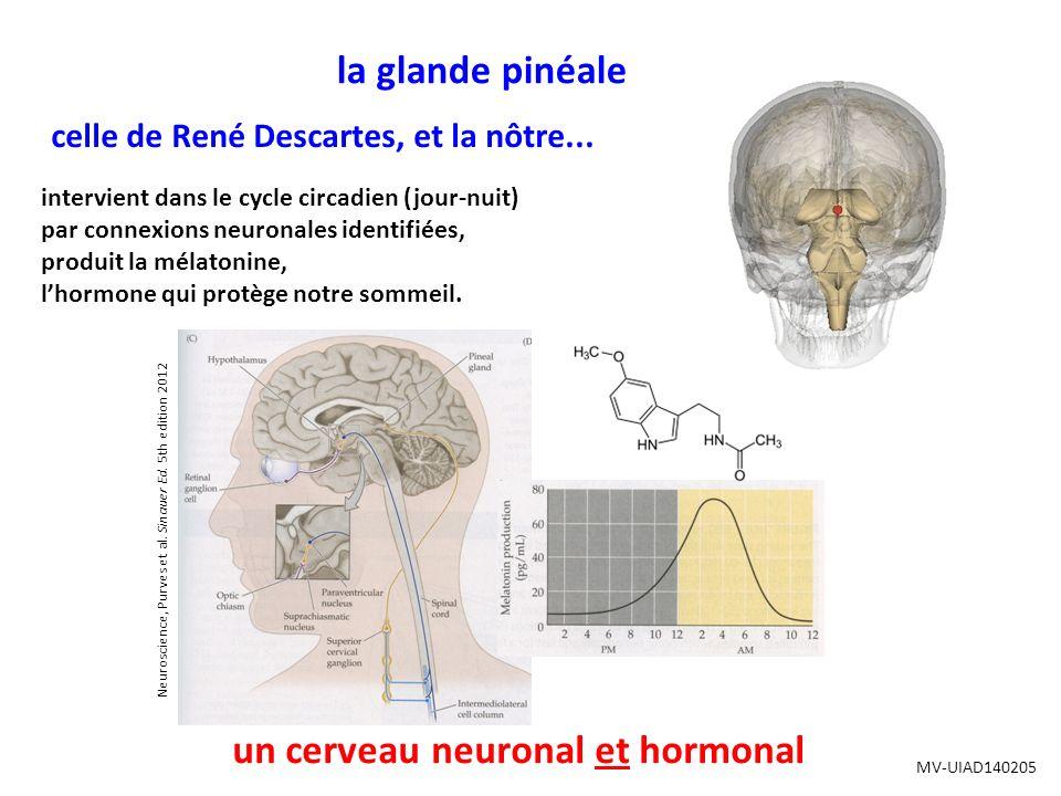 la glande pinéale celle de René Descartes, et la nôtre...