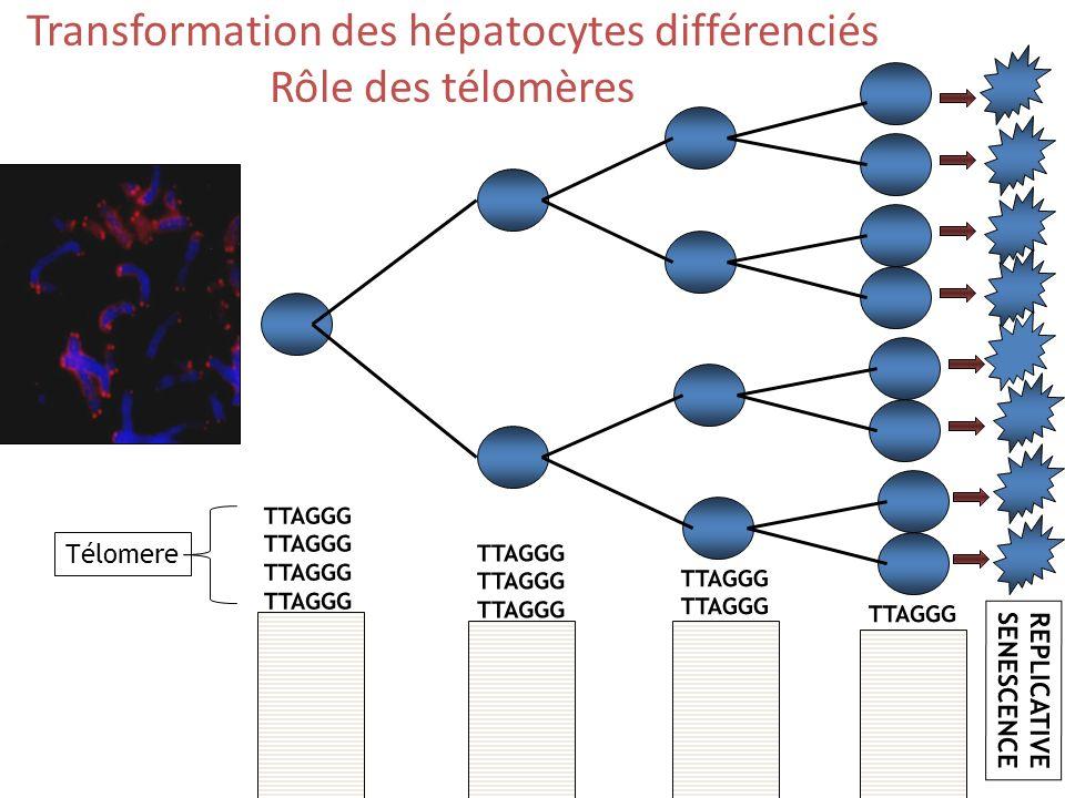 TTAGGG TTAGGG TTAGGG TTAGGG TTAGGG TTAGGG TTAGGG REPLICATIVE SENESCENCE Télomere Transformation des hépatocytes différenciés Rôle des télomères