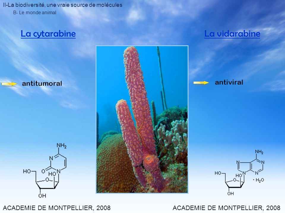 II-La biodiversité, une vraie source de molécules B- Le monde animal La cytarabineLa vidarabine ACADEMIE DE MONTPELLIER, 2008 antitumoral antiviral