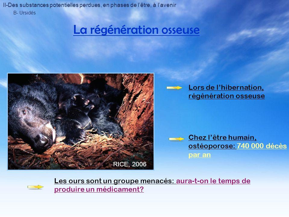 B- Ursidés La régénération osseuse RICE, 2006 Lors de lhibernation, régénération osseuse Chez lêtre humain, ostéoporose: 740 000 décès par an Les ours sont un groupe menacés: aura-t-on le temps de produire un médicament.