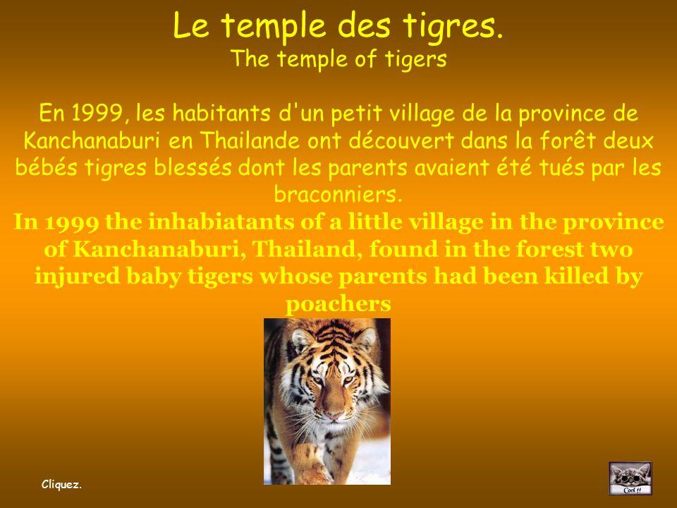 Wat Pha Luang Ta Bua Le temple des tigres.