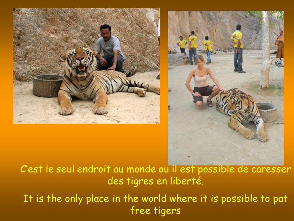 Cest le seul endroit au monde ou il est possible de caresser des tigres en liberté.