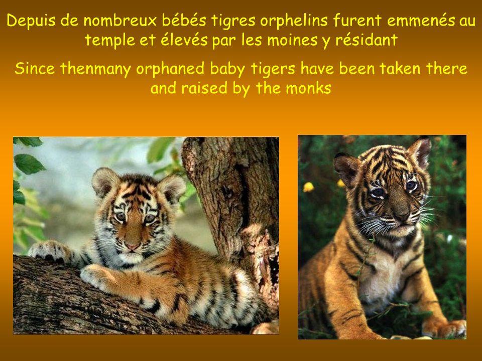 Depuis de nombreux bébés tigres orphelins furent emmenés au temple et élevés par les moines y résidant Since thenmany orphaned baby tigers have been taken there and raised by the monks