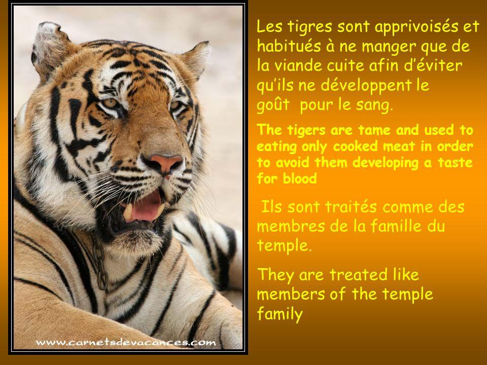 Les tigres sont apprivoisés et habitués à ne manger que de la viande cuite afin déviter quils ne développent le goût pour le sang.
