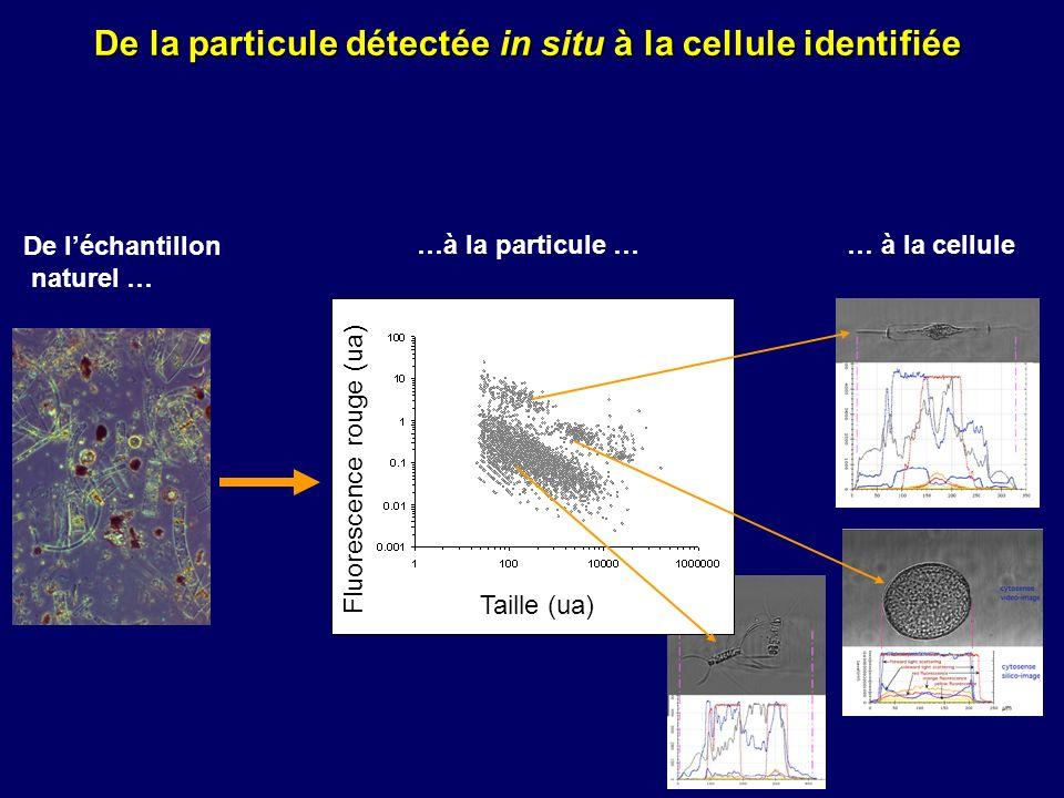 De la particule détectée in situ à la cellule identifiée Fluorescence rouge (ua) Taille (ua) …à la particule … De léchantillon naturel … … à la cellul