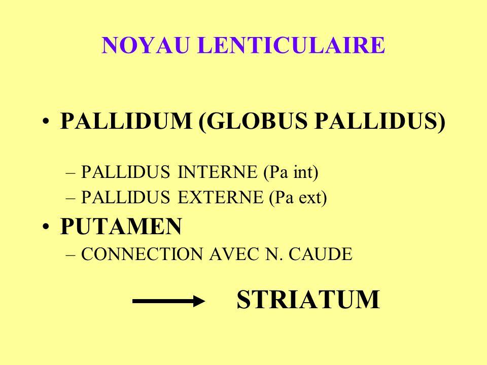 NOYAU LENTICULAIRE PALLIDUM (GLOBUS PALLIDUS) –PALLIDUS INTERNE (Pa int) –PALLIDUS EXTERNE (Pa ext) PUTAMEN –CONNECTION AVEC N. CAUDE STRIATUM