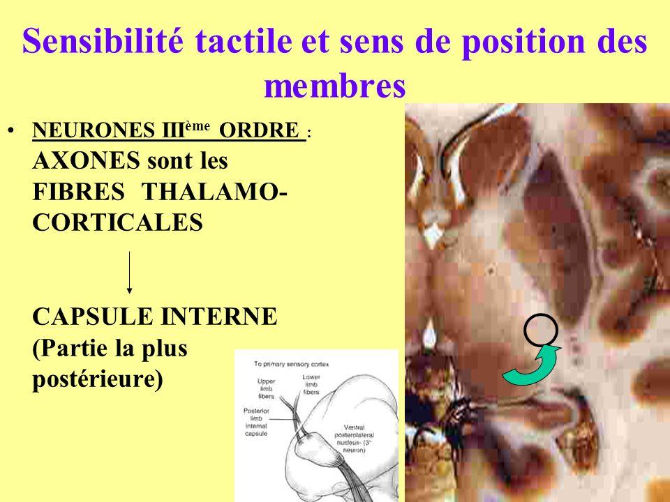 Sensibilité tactile et sens de position des membres NEURONES III ème ORDRE : AXONES sont les FIBRESTHALAMO- CORTICALES CAPSULE INTERNE (Partie la plus