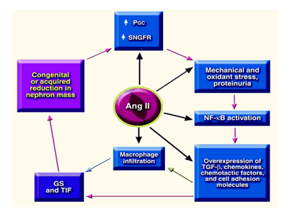 La famille des ANGIOTENSINES PEPTIDE ENZYME Angiotensine I Rénine ANGIOTENSINE II ACE 1 Ang-(1-9) ACE 2 Ang-(1-7) ACE 2 Ang-(1-5) ACE 2 Angiotensine III (2-8) Aminopeptidase