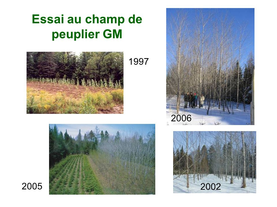 Essai au champ de peuplier GM 1997 2005 2002 2006