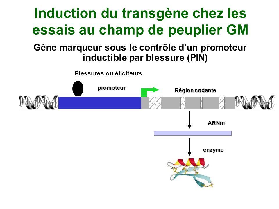 Induction du transgène chez les essais au champ de peuplier GM Gène marqueur sous le contrôle dun promoteur inductible par blessure (PIN) promoteur Ré