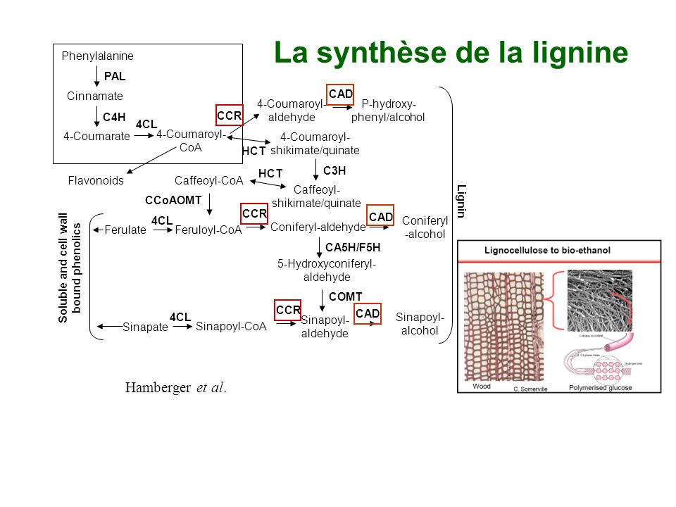 La synthèse de la lignine Phenylalanine Cinnamate 4-Coumarate 4-Coumaroyl- CoA 4-Coumaroyl- aldehyde 4-Coumaroyl- shikimate/quinate Caffeoyl- shikimat