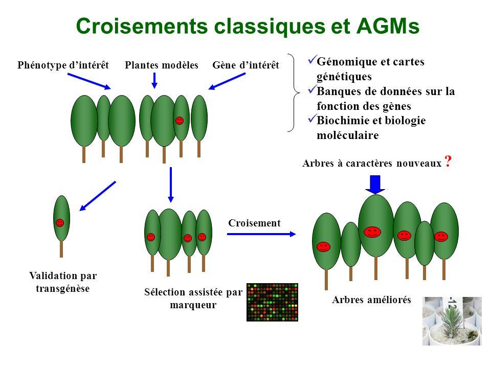 Croisements classiques et AGMs Phénotype dintérêtGène dintérêtPlantes modèles Sélection assistée par marqueur Croisement Arbres améliorés Validation p