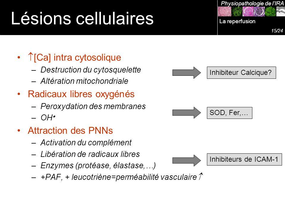 [Ca] intra cytosolique –Destruction du cytosquelette –Altération mitochondriale Radicaux libres oxygénés –Peroxydation des membranes –OH Attraction de