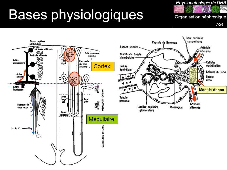 Cortex Médullaire Macula densa PO 2 20 mmHg Bases physiologiques Physiopathologie de lIRA 7/24 Organisation néphronique