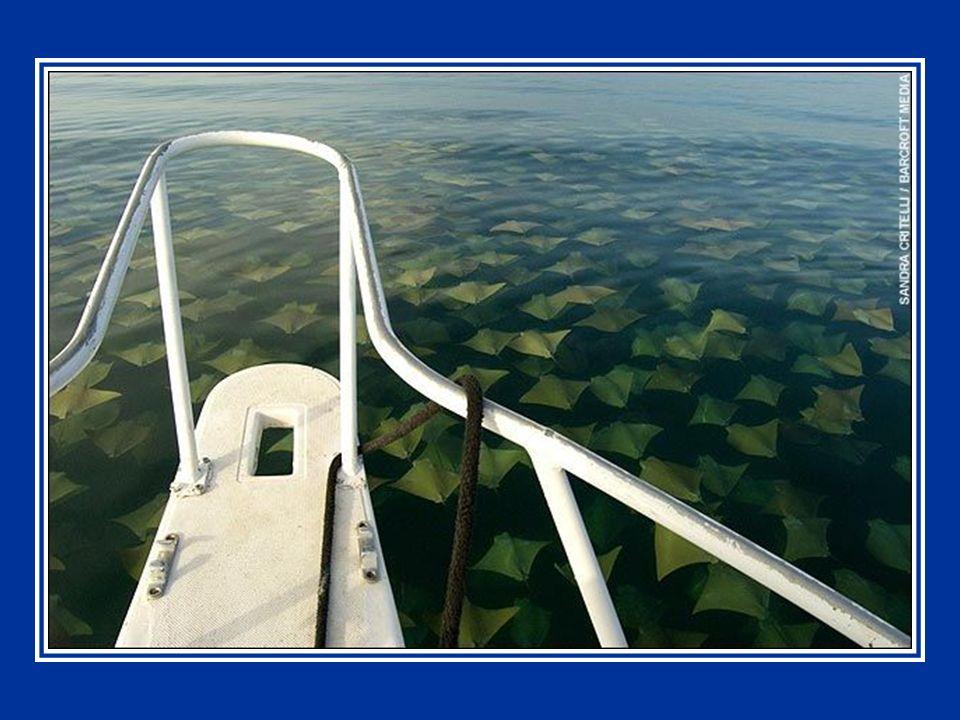 Migration en masse de raies dans le golfe du Mexique Cliquer pour avancer Mettre le son